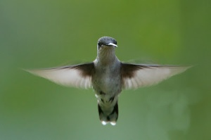 Female Rubythroat