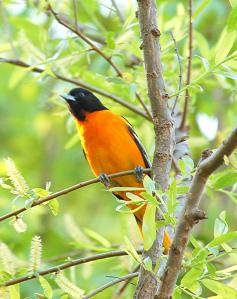 Baltimore_oriole_male