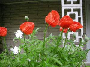 Poppies in rain