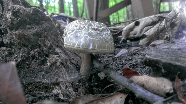 mushroom1